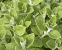 We are searching great supplier for Oregano
